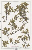 https://bibliotheque-virtuelle.bu.uca.fr/files/fichiers_bcu/Thymelaeceae_Daphne_alpina_CLF139134.jpg