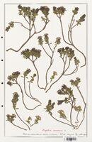 https://bibliotheque-virtuelle.bu.uca.fr/files/fichiers_bcu/Thymelaeceae_Daphne_eneorum_CLF139135.jpg