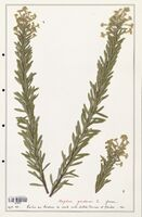 https://bibliotheque-virtuelle.bu.uca.fr/files/fichiers_bcu/Thymelaeceae_Daphne_gnidium_CLF139137.jpg