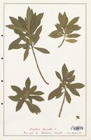 https://bibliotheque-virtuelle.bu.uca.fr/files/fichiers_bcu/Thymelaeceae_Daphne_laureola_CLF139138.jpg