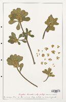 https://bibliotheque-virtuelle.bu.uca.fr/files/fichiers_bcu/Thymelaeceae_Daphne_laureola_CLF139139.jpg