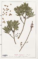https://bibliotheque-virtuelle.bu.uca.fr/files/fichiers_bcu/Thymelaeceae_Daphne_mezereum_CLF139140.jpg
