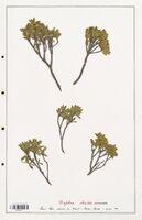 https://bibliotheque-virtuelle.bu.uca.fr/files/fichiers_bcu/Thymelaeceae_Daphne_oleides_CLF139142.jpg
