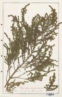 https://bibliotheque-virtuelle.bu.uca.fr/files/fichiers_bcu/Thymelaeceae_Thymelaea_hirsuta_CLF139150.jpg