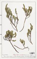 https://bibliotheque-virtuelle.bu.uca.fr/files/fichiers_bcu/Thymelaeceae_Thymelaea_nivalis_CLF139154.jpg