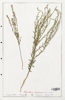 https://bibliotheque-virtuelle.bu.uca.fr/files/fichiers_bcu/Thymelaeceae_Thymelaea_passerina_CLF139155.jpg