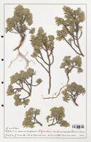 https://bibliotheque-virtuelle.bu.uca.fr/files/fichiers_bcu/Thymelaeceae_Thymelaea_tartonraira_CLF139161.jpg