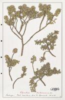 https://bibliotheque-virtuelle.bu.uca.fr/files/fichiers_bcu/Thymelaeceae_Thymelaea_tartonraira_CLF139162.jpg
