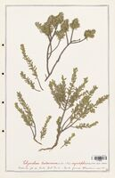 https://bibliotheque-virtuelle.bu.uca.fr/files/fichiers_bcu/Thymelaeceae_Thymelaea_tartonraira_CLF139165.jpg
