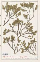 https://bibliotheque-virtuelle.bu.uca.fr/files/fichiers_bcu/Thymelaeceae_Thymelaea_tartonraira_CLF139166.jpg