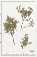 https://bibliotheque-virtuelle.bu.uca.fr/files/fichiers_bcu/Thymelaeceae_Thymelaea_tartonraira_CLF139167.jpg
