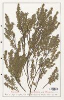 https://bibliotheque-virtuelle.bu.uca.fr/files/fichiers_bcu/Thymelaeceae_Thymelaea_tartonraira_CLF139168.jpg