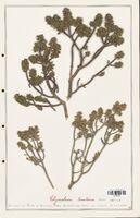 https://bibliotheque-virtuelle.bu.uca.fr/files/fichiers_bcu/Thymelaeceae_Thymelaea_tinctoria_CLF139169.jpg