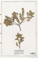 https://bibliotheque-virtuelle.bu.uca.fr/files/fichiers_bcu/Thymelaeceae_Thymelaea_velutina_CLF139170.jpg