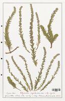 https://bibliotheque-virtuelle.bu.uca.fr/files/fichiers_bcu/Thymelaeceae_Thymelaea_virgata_CLF139173.jpg