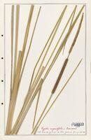 https://bibliotheque-virtuelle.bu.uca.fr/files/fichiers_bcu/Typhaceae_Typha_angustifolia_CLF139175.jpg