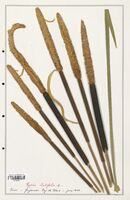 https://bibliotheque-virtuelle.bu.uca.fr/files/fichiers_bcu/Typhaceae_Typha_latifolia_CLF139181.jpg
