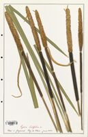 https://bibliotheque-virtuelle.bu.uca.fr/files/fichiers_bcu/Typhaceae_Typha_latifolia_CLF139182.jpg