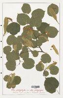 https://bibliotheque-virtuelle.bu.uca.fr/files/fichiers_bcu/Malvaceae_Tilia_platyphyllos_CLF139187.jpg