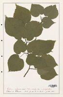 https://bibliotheque-virtuelle.bu.uca.fr/files/fichiers_bcu/Malvaceae_Tilia_vulgaris_CLF139190.jpg