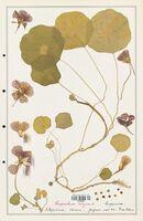 https://bibliotheque-virtuelle.bu.uca.fr/files/fichiers_bcu/Tropaeolaceae_Tropaelum_majus_CLF139192.jpg