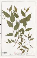 https://bibliotheque-virtuelle.bu.uca.fr/files/fichiers_bcu/Cannabaceae_Celtis_australis_CLF139193.jpg