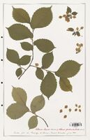 https://bibliotheque-virtuelle.bu.uca.fr/files/fichiers_bcu/Ulmaceae_Ulmus_laevis_CLF139197.jpg