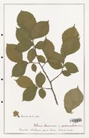 https://bibliotheque-virtuelle.bu.uca.fr/files/fichiers_bcu/Ulmaceae_Ulmus_laevis_CLF139198.jpg