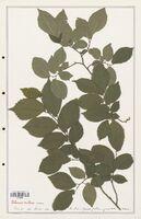 https://bibliotheque-virtuelle.bu.uca.fr/files/fichiers_bcu/Ulmaceae_Ulmus_nitens_CLF139203.jpg
