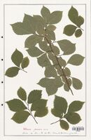 https://bibliotheque-virtuelle.bu.uca.fr/files/fichiers_bcu/Ulmaceae_Ulmus_procera_CLF139204.jpg