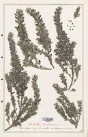https://bibliotheque-virtuelle.bu.uca.fr/files/fichiers_bcu/Urticaceae_Forskahlea_tenacissima_CLF139206.jpg