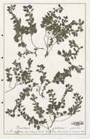 https://bibliotheque-virtuelle.bu.uca.fr/files/fichiers_bcu/Urticaceae_Parietaria_judaica_CLF139210.jpg