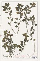 https://bibliotheque-virtuelle.bu.uca.fr/files/fichiers_bcu/Urticaceae_Parietaria_lusitanica_CLF139211.jpg