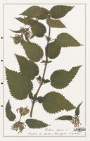 https://bibliotheque-virtuelle.bu.uca.fr/files/fichiers_bcu/Urticaceae_Urtica_dioica_CLF139215.jpg