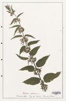 https://bibliotheque-virtuelle.bu.uca.fr/files/fichiers_bcu/Urticaceae_Urtica_dioica_CLF139216.jpg