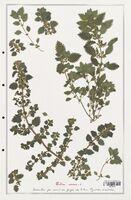 https://bibliotheque-virtuelle.bu.uca.fr/files/fichiers_bcu/Urticaceae_Urtica_urens_CLF139220.jpg