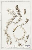 https://bibliotheque-virtuelle.bu.uca.fr/files/fichiers_bcu/Utriculariacees_Utricularia_vulgaris_CLF139227.jpg