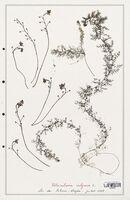 https://bibliotheque-virtuelle.bu.uca.fr/files/fichiers_bcu/Utriculariacees_Utricularia_vulgaris_CLF139229.jpg