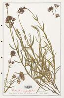 https://bibliotheque-virtuelle.bu.uca.fr/files/fichiers_bcu/Valerianaceae_Centranthus_angustifolius_CLF139230.jpg