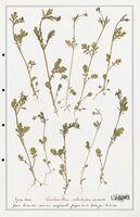 https://bibliotheque-virtuelle.bu.uca.fr/files/fichiers_bcu/Valerianaceae_Centranthus_calcitrapa_CLF139231.jpg