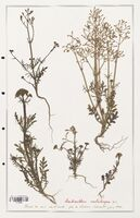 https://bibliotheque-virtuelle.bu.uca.fr/files/fichiers_bcu/Valerianaceae_Centranthus_calcitrapa_CLF139233.jpg