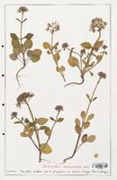 https://bibliotheque-virtuelle.bu.uca.fr/files/fichiers_bcu/Valerianaceae_Centranthus_macrosiphon_CLF139234.jpg