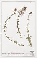 https://bibliotheque-virtuelle.bu.uca.fr/files/fichiers_bcu/Valerianaceae_Centranthus_nevadensis_CLF139236.jpg
