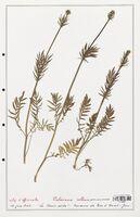https://bibliotheque-virtuelle.bu.uca.fr/files/fichiers_bcu/Valerianaceae_Valeriana_collina_CLF139240.jpg