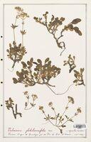 https://bibliotheque-virtuelle.bu.uca.fr/files/fichiers_bcu/Valerianaceae_Valeriana_globulariaefolia_CLF139242.jpg