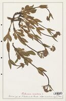 https://bibliotheque-virtuelle.bu.uca.fr/files/fichiers_bcu/Valerianaceae_Valeriana_montana_CLF139245.jpg