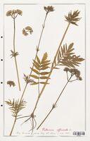 https://bibliotheque-virtuelle.bu.uca.fr/files/fichiers_bcu/Valerianaceae_Valeriana_officinalis_CLF139247.jpg