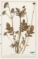 https://bibliotheque-virtuelle.bu.uca.fr/files/fichiers_bcu/Valerianaceae_Valeriana_phu_CLF139249.jpg