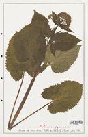 https://bibliotheque-virtuelle.bu.uca.fr/files/fichiers_bcu/Valerianaceae_Valeriana_pyrenaica_CLF139250.jpg