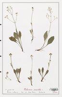 https://bibliotheque-virtuelle.bu.uca.fr/files/fichiers_bcu/Valerianaceae_Valeriana_saxatilis_CLF139252.jpg